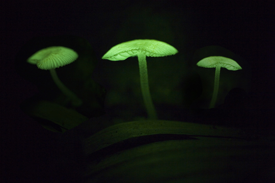http://ianshive.files.wordpress.com/2007/07/glowmushroom.jpg?w=6000